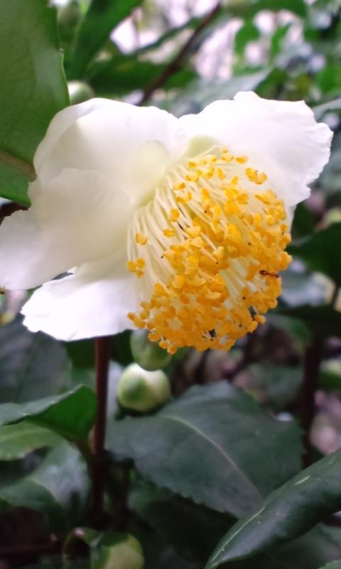 お茶の花が咲いています。